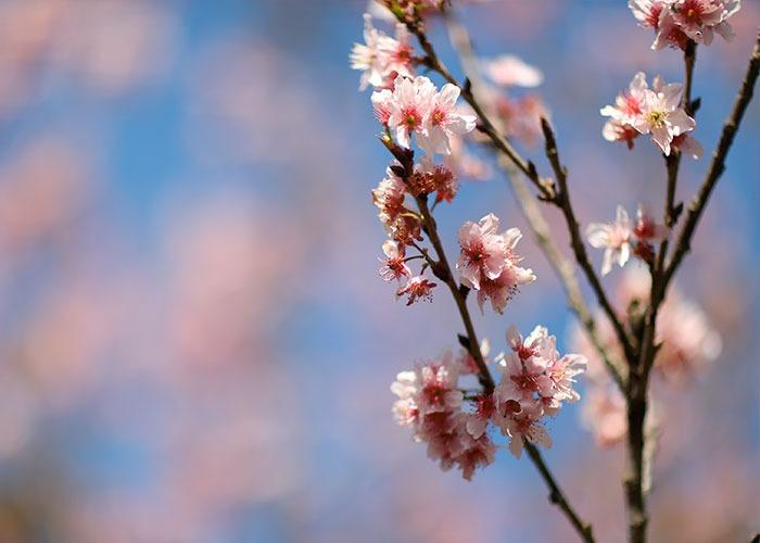 lookdodia312-cherryblossom